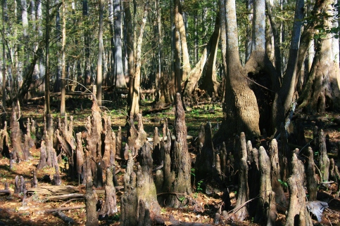 cypress stumps